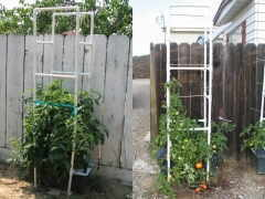 Tomato cages in modesto and at hilltop